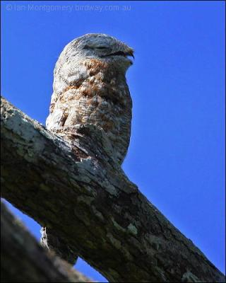 Great Potoo (Nyctibius grandis) by Ian's Birdway