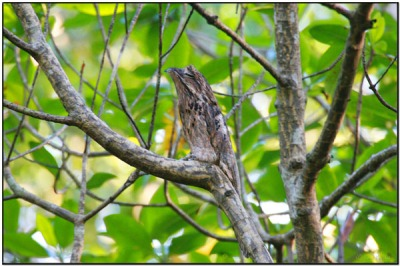 Common Potoo (Nyctibius griseus) by Daves BirdingPix