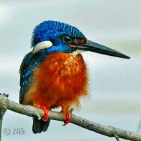Blue-eared Kingfisher (Alcedo meninting) by Nik