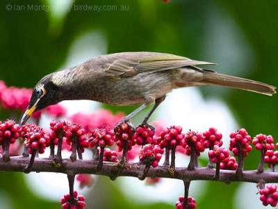 Bridled Honeyeater (Lichenostomus frenatus) by Ian at Birdway