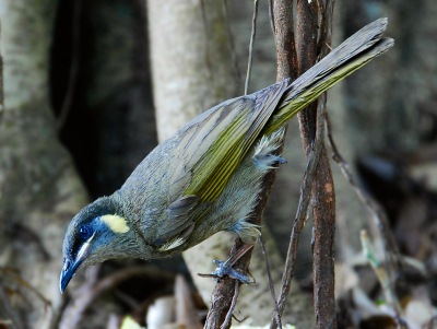 Lewin's Honeyeater (Meliphaga lewinii) by W Kwong