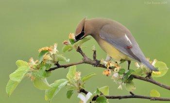 Cedar Waxwing (Bombycilla cedrorum) by J Fenton