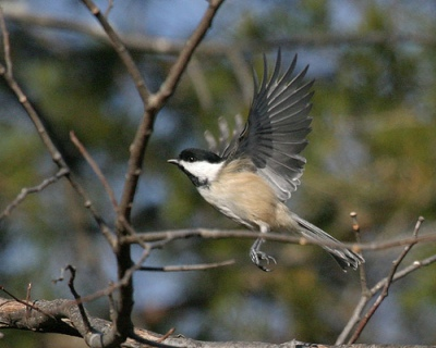 Black-capped Chickadee (Poecile atricapillus) by Kent Nickell