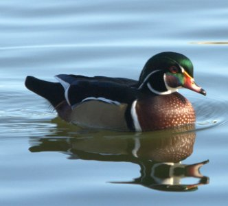 Wood Duck (Aix sponsa) by Dan