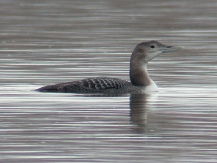 Yellow-billed Loon (Gavia adamsii) by Kent Nickell