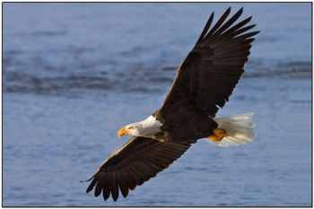 Bald Eagle flying by Dave's BirdingPix