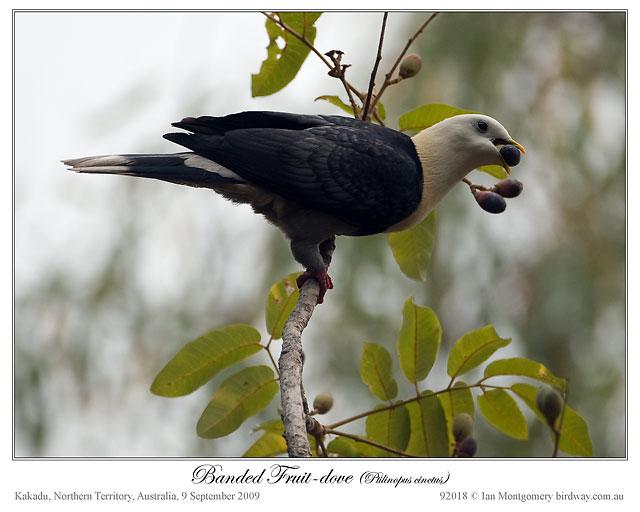 Banded Fruit Dove (Ptilinopus cinctus) by Ian