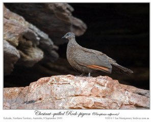 Chestnut-quilled Rock Pigeon (Petrophassa rufipennis) by Ian