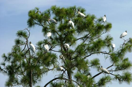 Dan's Wood Stork Tree