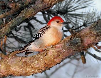 Red-bellied Woodpecker (Melanerpes carolinus) by J Fenton