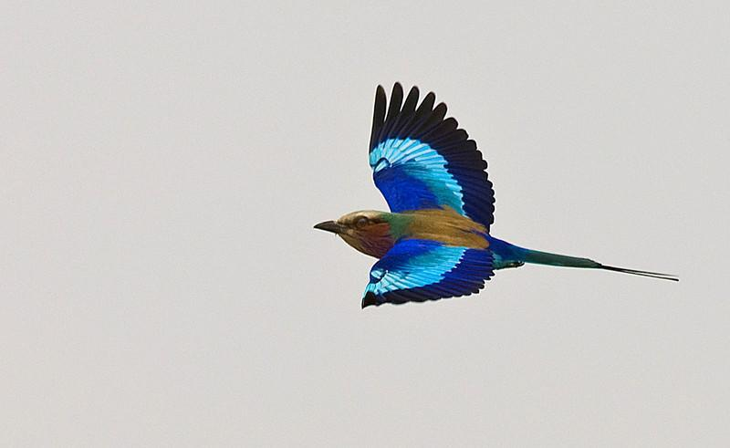 Lilac-breasted Roller (Coracias caudatus) by Africaddict