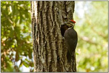 Pileated Woodpecker, female at nest hole