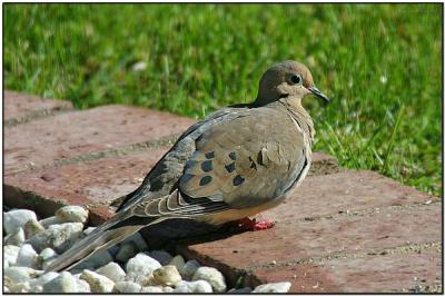 Mourning Dove (Zenaida macroura) by Daves BirdingPix