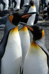 King Penguin (Aptenodytes patagonicus) by Bob-Nan