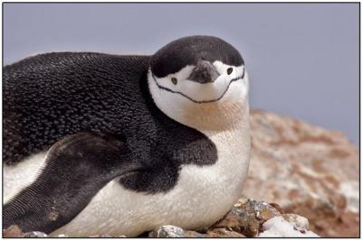Chinstrap Penguin direct look by Dave