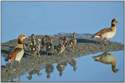 Egyptian Goose (Alopochen aegyptiaca) by Daves BirdingPix