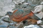 Painted Spurfowl (Galloperdix lunulata) by Nikhil