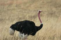 Common Ostrich (Struthio camelus) by Bob-Nan