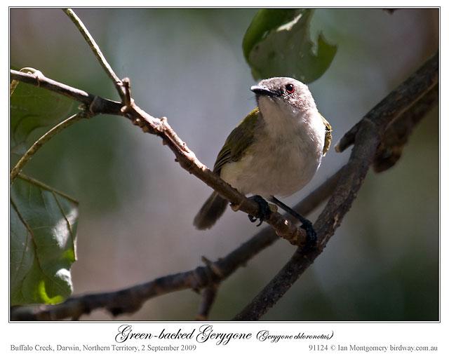 Green-backed Gerygone (Gerygone chloronota) by Ian