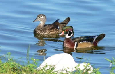 Mr and Mrs Wood Duck by Lee