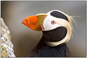 Tufted Puffin by Dave's BirdingPix