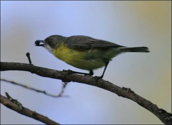 White-throated Gerygone by Ian
