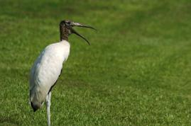 Wood Stork by Dan