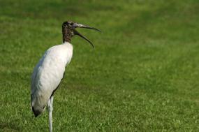 Wood Stork by Dan
