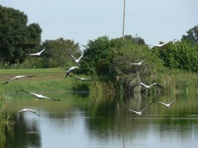 Wood Storks Flying