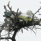 Asian Openbill (Anastomus oscitans) on nest by Nikhil Devasar