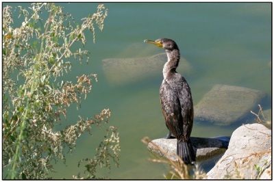 Double-crested Cormorant (Phalacrocorax auritus) by Daves BirdingPix