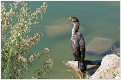 Double-crested Cormorant (Phalacrocorax auritus) by Daves BirdingPix