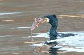 Great Cormorant (Phalacrocorax carbo) by J Fenton