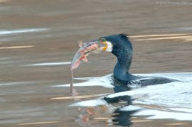 Great Cormorant (Phalacrocorax carbo) by J Fenton
