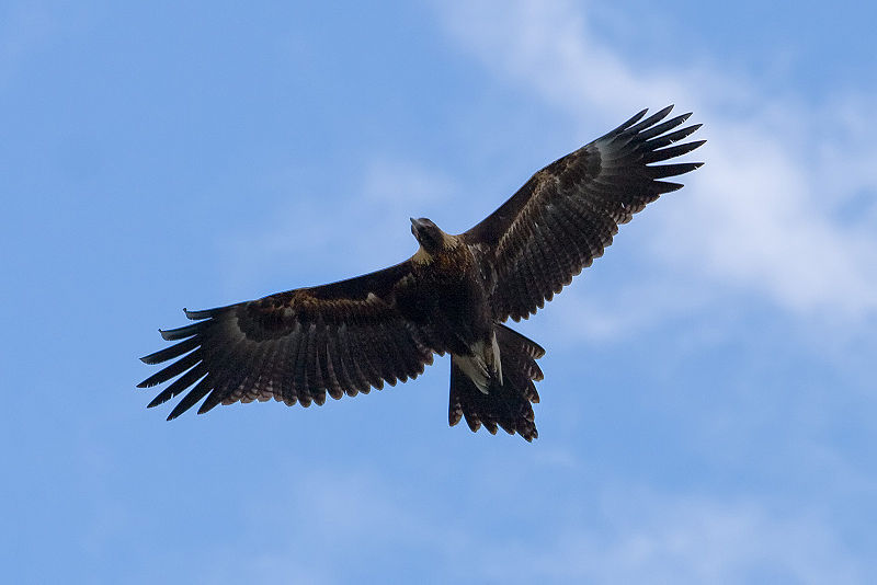 Wedge-tailed Eagle (Aquila audax) ©WikiC