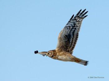 Hen (Northern) Harrier (Circus cyaneus) by J Fenton