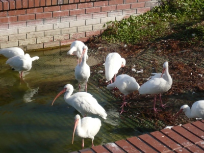White Ibises at Lake Morton by Dan