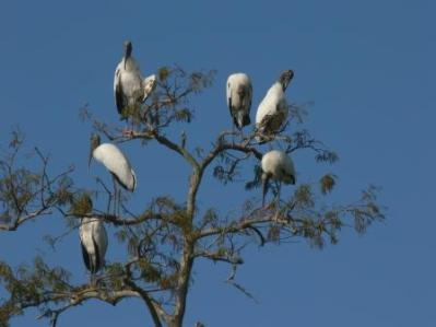 Wood Storks in Top of Tree by Lee