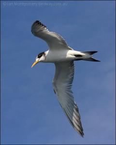 Swift Tern (Crested) (Thalasseus bergii) by Ian