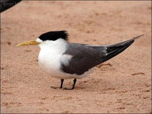 23-66-1723 Swift Tern (Thalasseus bergii) Breeding by Ian