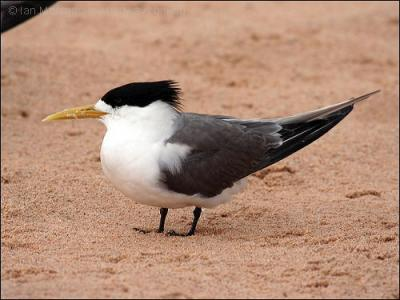 23-66-1723 Swift Tern (Thalasseus bergii) Breeding by Ian