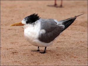 Swift Tern (Thalasseus bergii) Non-breeding by Ian
