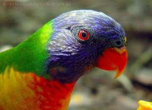Rainbow Lorikeet (Trichoglossus moluccanus) by Ian