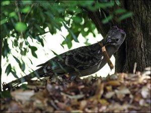Great Bowerbird (Chlamydera nuchalis) by Ian