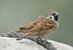 Eurasian Tree Sparrow (Passer montanus) by Nikhil