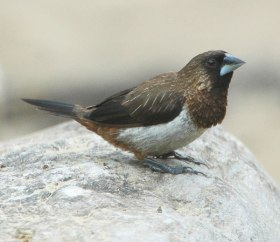 White-rumped Munia (Lonchura striata) by Nikhil