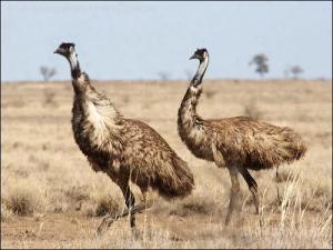 Strutting Emu (Dromaius novaehollandiae) by Ian Struting