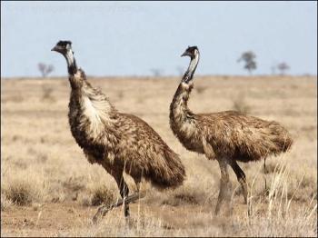 Emu (Dromaius novaehollandiae) by Ian-2