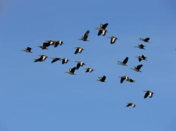 Black-bellied Whistling Ducks forming V