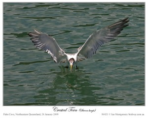 Crested Tern now Swift Tern (Thalasseus bergii) by Ian